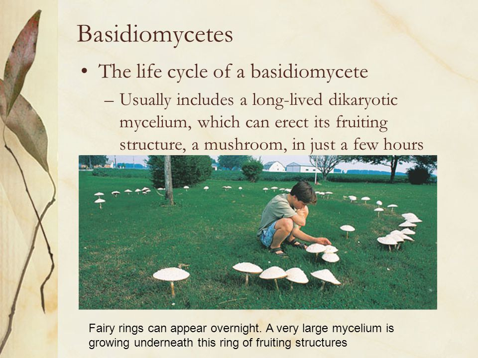 Basidiomycetes The life cycle of a basidiomycete –Usually includes a long-lived dikaryotic mycelium, which can erect its fruiting structure, a mushroo