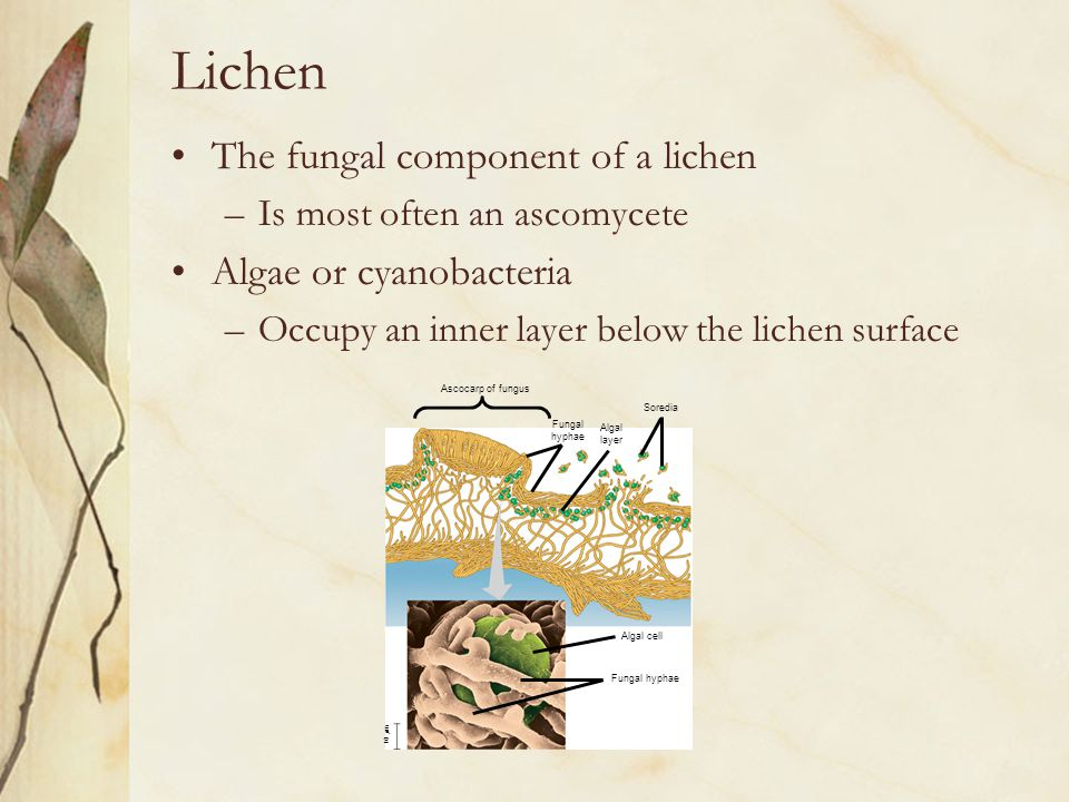 Lichen The fungal component of a lichen –Is most often an ascomycete Algae or cyanobacteria –Occupy an inner layer below the lichen surface Ascocarp o