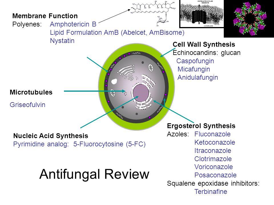 Membrane Function Polyenes: Amphotericin B Lipid Formulation AmB (Abelcet, AmBisome) Nystatin Ergosterol Synthesis Azoles:Fluconazole Ketoconazole Itr