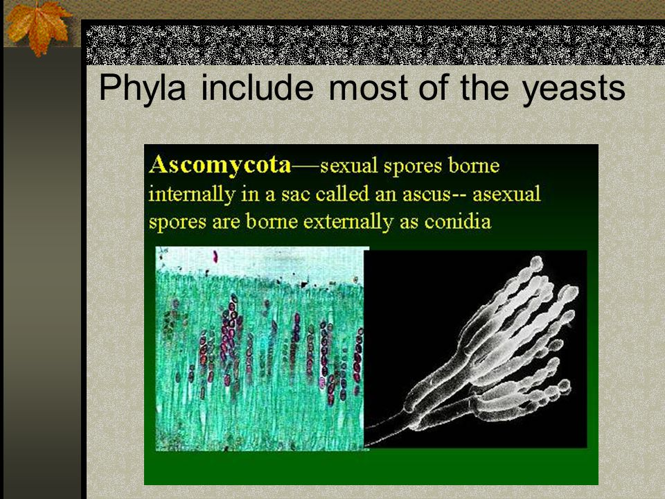 Phyla include most of the yeasts