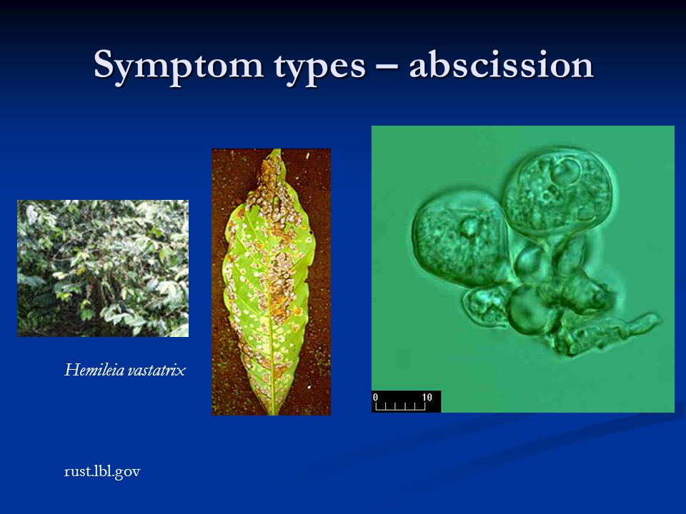 Symptom types – abscission Hemileia vastatrix rust.lbl.gov