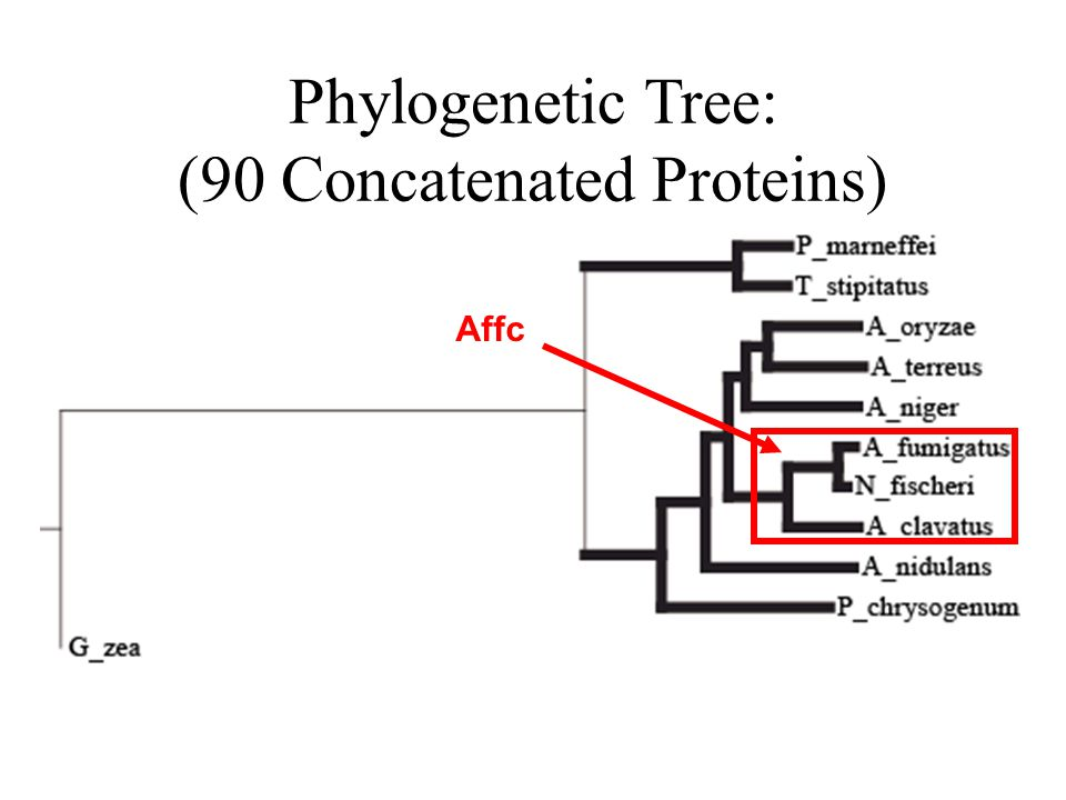 Phylogenetic Tree: (90 Concatenated Proteins) Affc