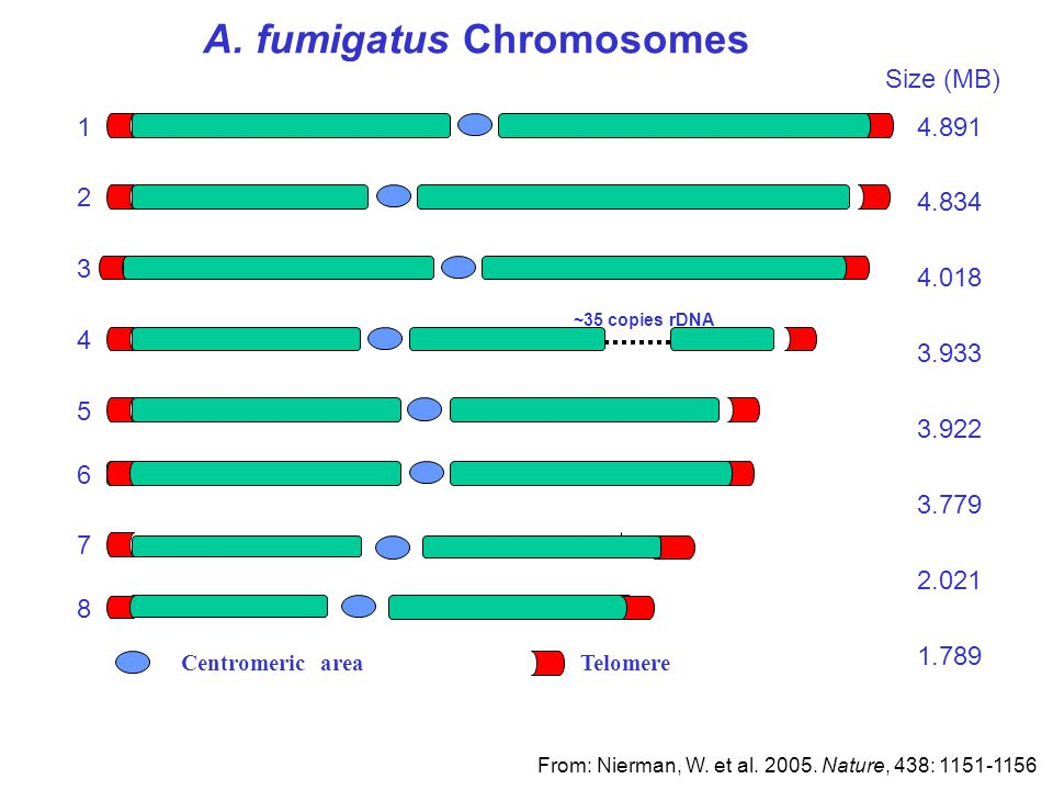 A. fumigatus Chromosomes Centromeric area Telomere Size (MB) 3 2 6 5 8 7 1 4 ~35 copies rDNA 4.891 4.834 4.018 3.933 3.922 3.779 2.021 1.789 From: Nie