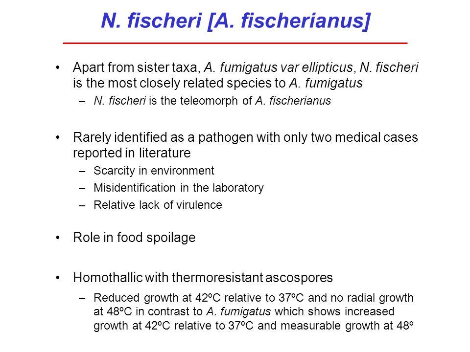 N. fischeri [A. fischerianus] Apart from sister taxa, A. fumigatus var ellipticus, N. fischeri is the most closely related species to A. fumigatus –N.