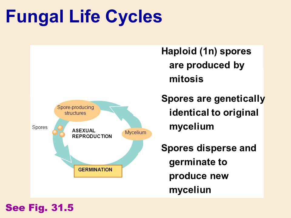 Fungal Life Cycles Key Haploid (n) Heterokaryotic Diploid (2n) PLASMOGAMY (fusion of cytoplasm) Heterokaryotic stage KARYOGAMY (fusion of nuclei) SEXU