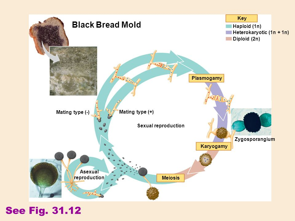 See Fig. 31.12 Key Plasmogamy Karyogamy Meiosis Black Bread Mold Sexual reproduction Asexual reproduction Mating type (+) Mating type (-) Zygosporangi