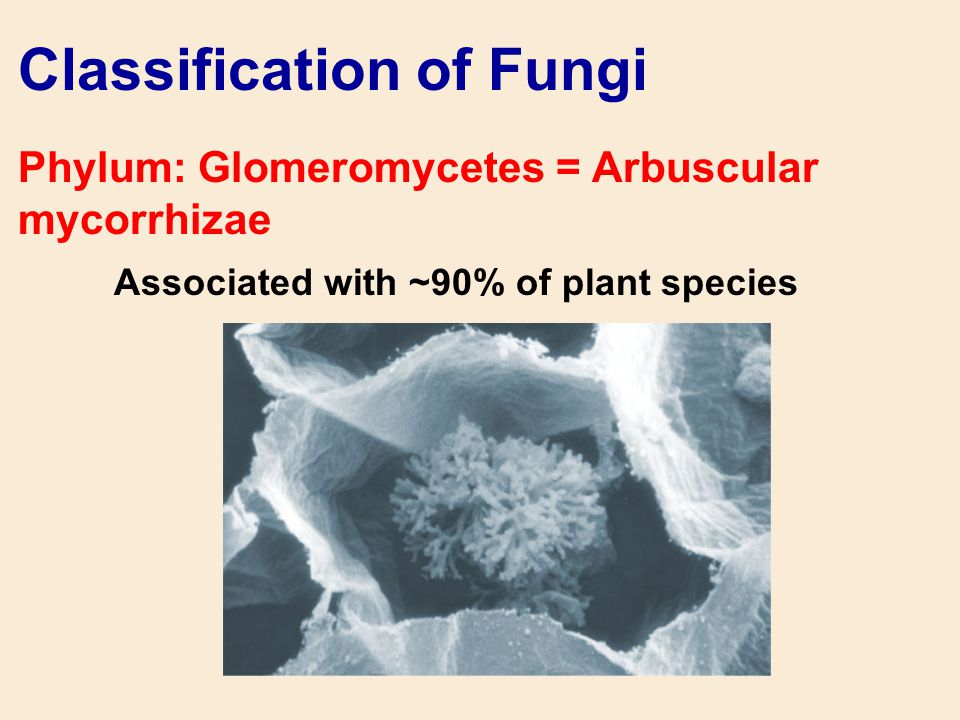 Classification of Fungi Phylum: Glomeromycetes = Arbuscular mycorrhizae Associated with ~90% of plant species
