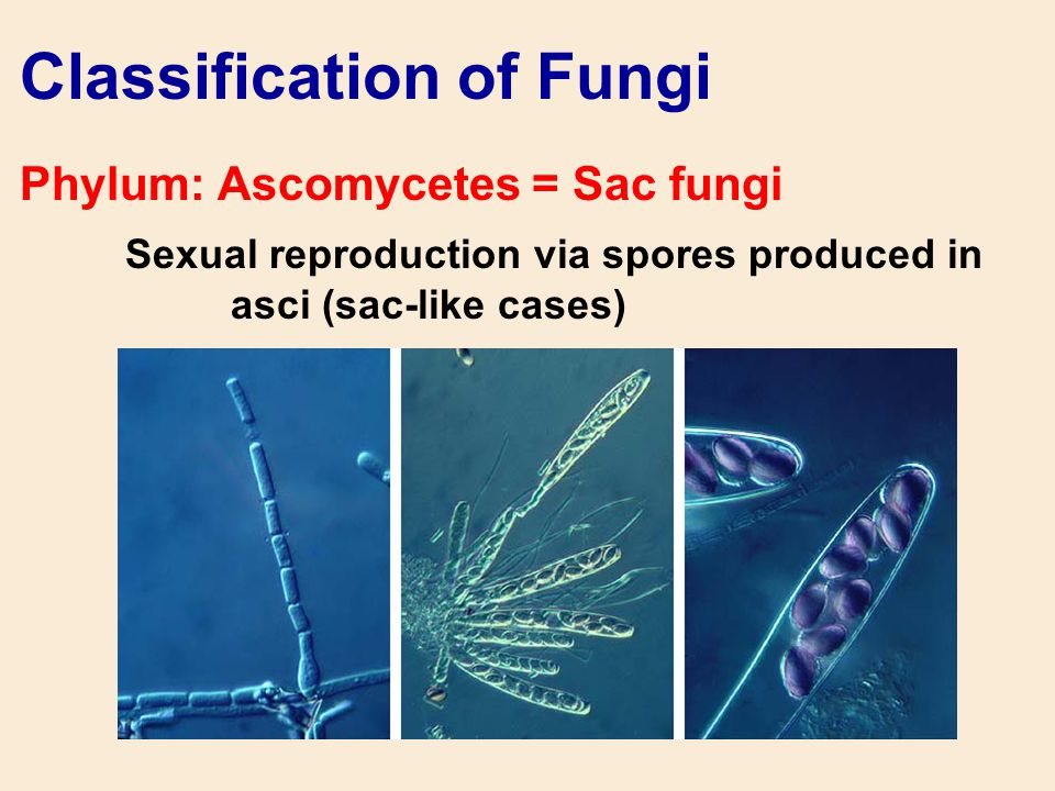 Classification of Fungi Phylum: Ascomycetes = Sac fungi Sexual reproduction via spores produced in asci (sac-like cases)