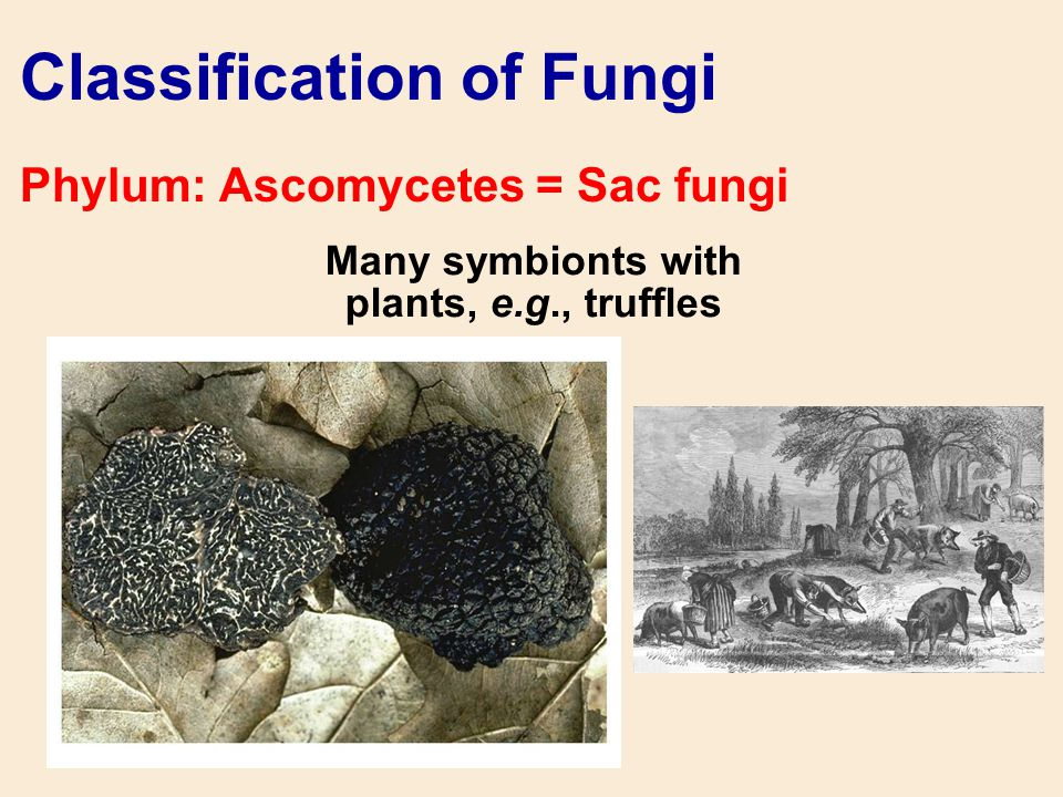 Many symbionts with plants, e.g., truffles Classification of Fungi Phylum: Ascomycetes = Sac fungi
