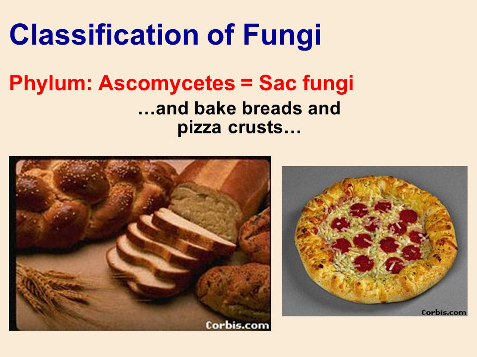 …and bake breads and pizza crusts… Classification of Fungi Phylum: Ascomycetes = Sac fungi