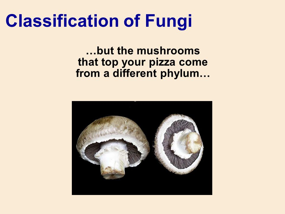 …but the mushrooms that top your pizza come from a different phylum… Classification of Fungi