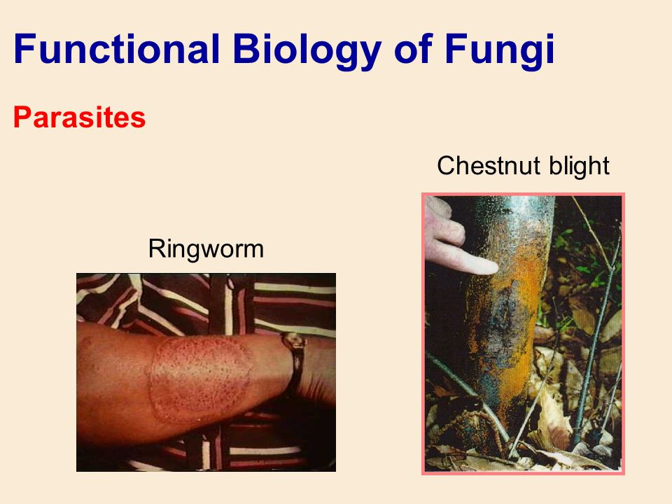 Functional Biology of Fungi Parasites Ringworm Chestnut blight