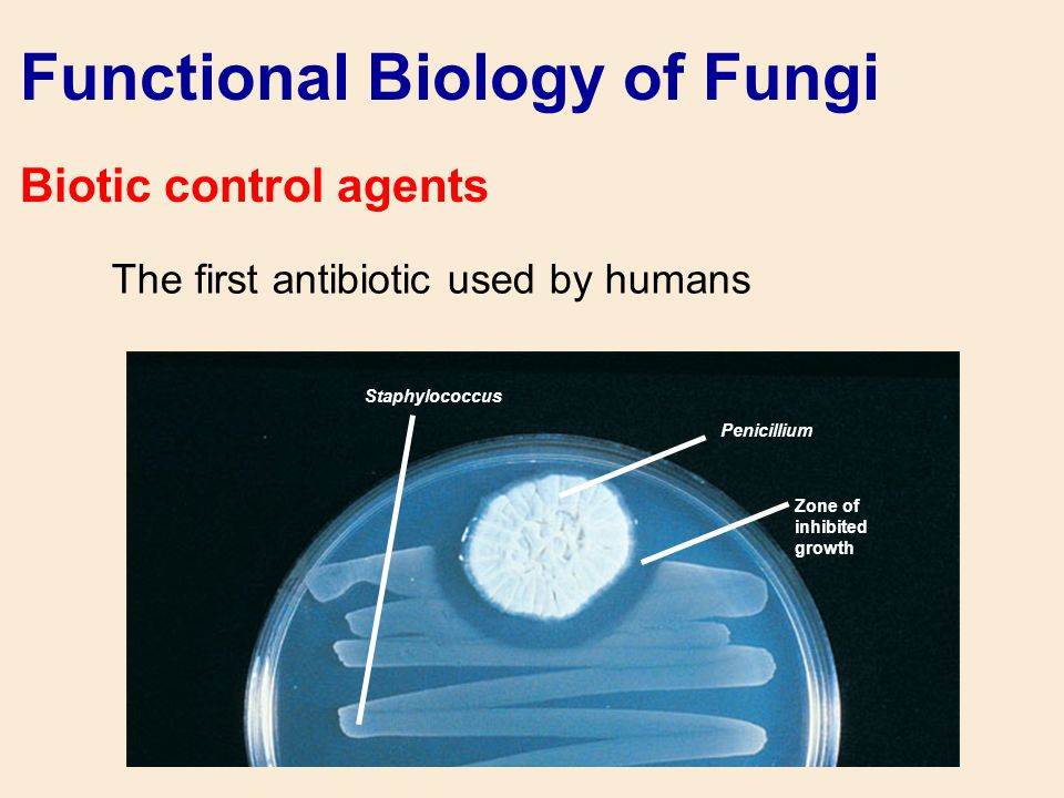Functional Biology of Fungi Biotic control agents The first antibiotic used by humans Staphylococcus Penicillium Zone of inhibited growth