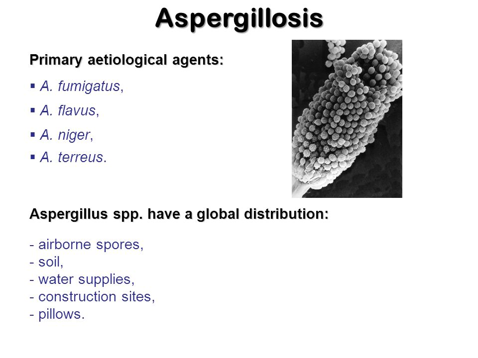 Aspergillosis Primary aetiological agents:  A. flavus,  A. fumigatus,  A. niger,  A. terreus. Aspergillus spp. have a global distribution: - airbo