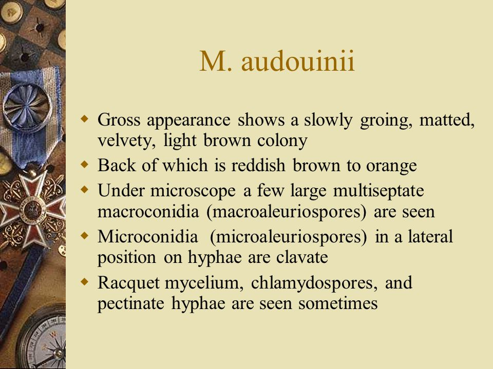 M. audouinii  Gross appearance shows a slowly groing, matted, velvety, light brown colony  Back of which is reddish brown to orange  Under microsco