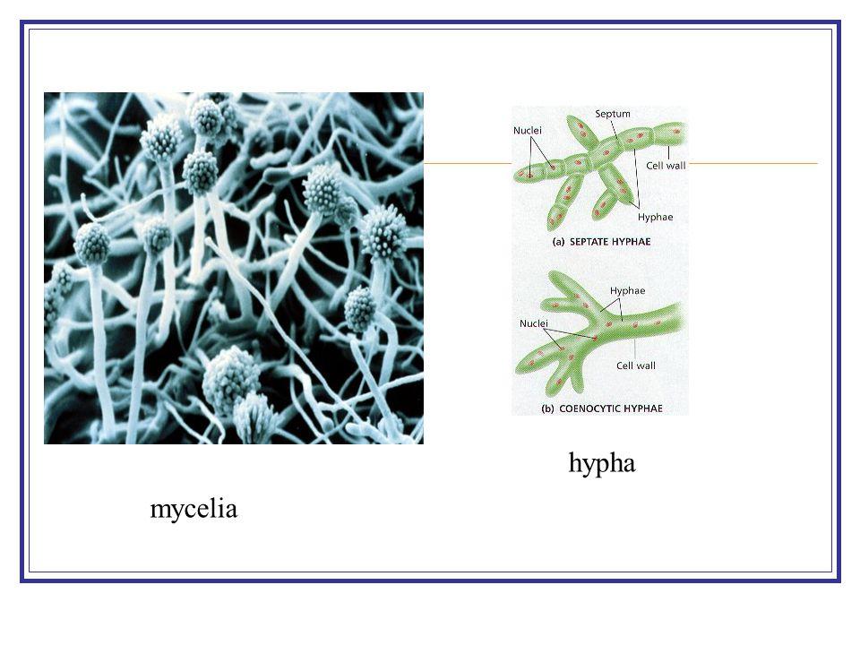 mycelia hypha