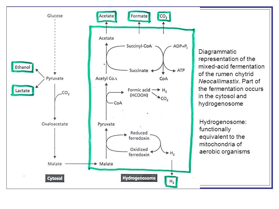 Diagrammatic representation of the mixed-acid fermentation of the rumen chytrid Neocallimastix.