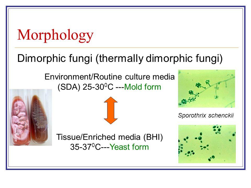 Morphology Dimorphic fungi (thermally dimorphic fungi) Environment/Routine culture media (SDA) 25-30 0 C ---Mold form Tissue/Enriched media (BHI) 35-37 0 C---Yeast form Sporothrix schenckii