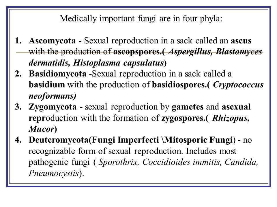 Medically important fungi are in four phyla: 1.Ascomycota - Sexual reproduction in a sack called an ascus with the production of ascopspores.( Aspergillus, Blastomyces dermatidis, Histoplasma capsulatus) 2.Basidiomycota -Sexual reproduction in a sack called a basidium with the production of basidiospores.( Cryptococcus neoformans) 3.Zygomycota - sexual reproduction by gametes and asexual reproduction with the formation of zygospores.( Rhizopus, Mucor) 4.Deuteromycota(Fungi Imperfecti \Mitosporic Fungi) - no recognizable form of sexual reproduction.