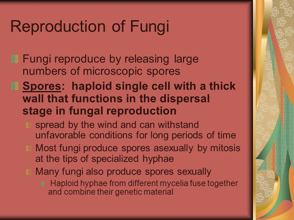 Reproduction of Fungi Fungi reproduce by releasing large numbers of microscopic spores Spores: haploid single cell with a thick wall that functions in
