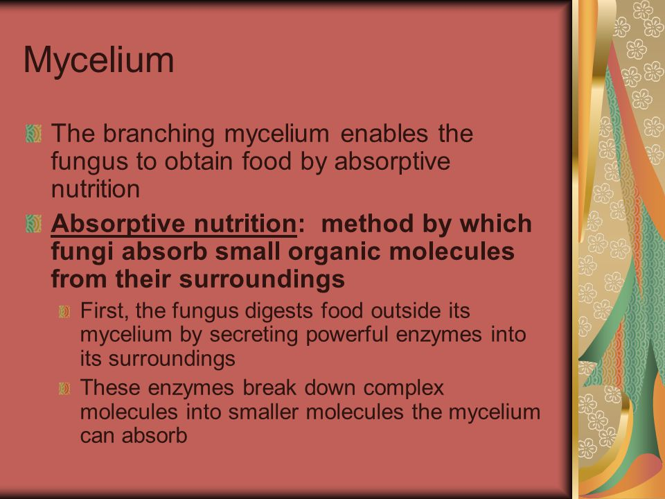 Mycelium The branching mycelium enables the fungus to obtain food by absorptive nutrition Absorptive nutrition: method by which fungi absorb small org