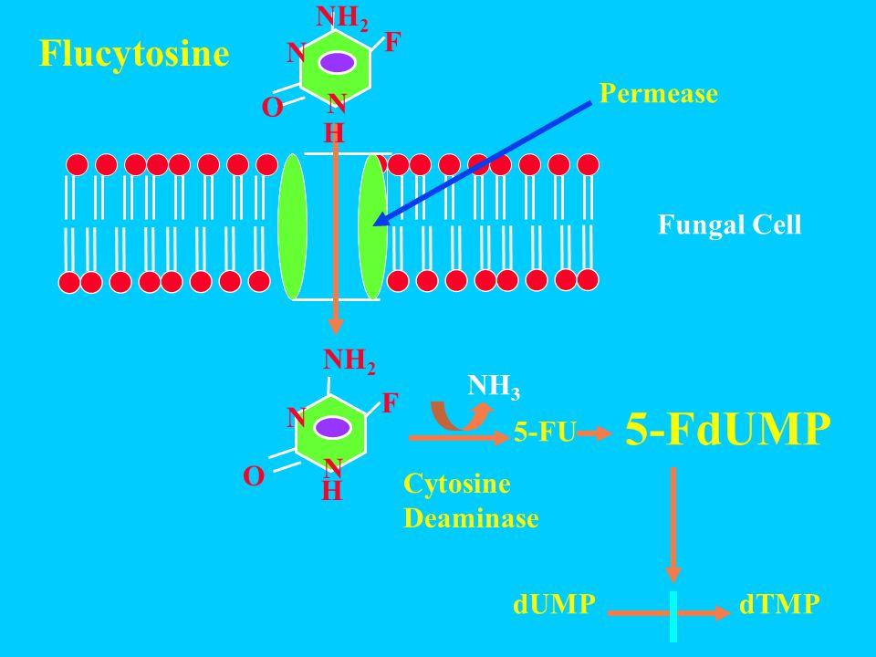 N N O H F NH 2 5-FU 5-FdUMP Permease N N O H NH 2 F dUMPdTMP Flucytosine Fungal Cell Cytosine Deaminase NH 3