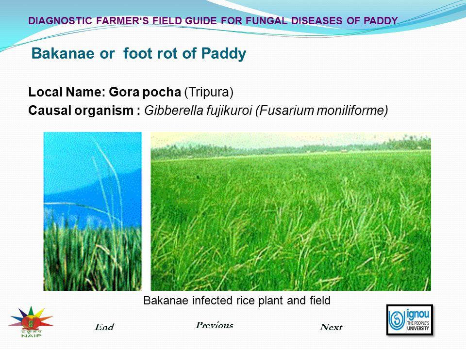 Bakanae or foot rot of Paddy Local Name: Gora pocha (Tripura) Causal organism : Gibberella fujikuroi (Fusarium moniliforme) Bakanae infected rice plan