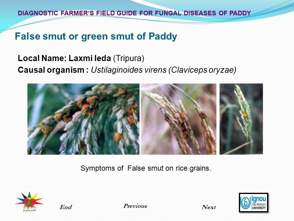 False smut or green smut of Paddy Local Name: Laxmi leda (Tripura) Causal organism : Ustilaginoides virens (Claviceps oryzae) Symptoms of False smut o