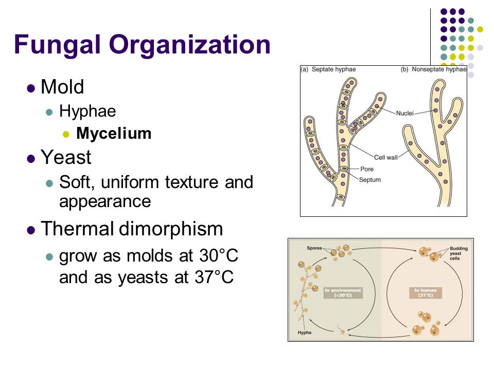 Fungal Organization Mold Hyphae Mycelium Yeast Soft, uniform texture and appearance Thermal dimorphism grow as molds at 30°C and as yeasts at 37°C