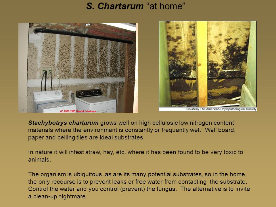 """S. Chartarum """"at home"""" Stachybotrys chartarum grows well on high cellulosic low nitrogen content materials where the environment is constantly or freq"""