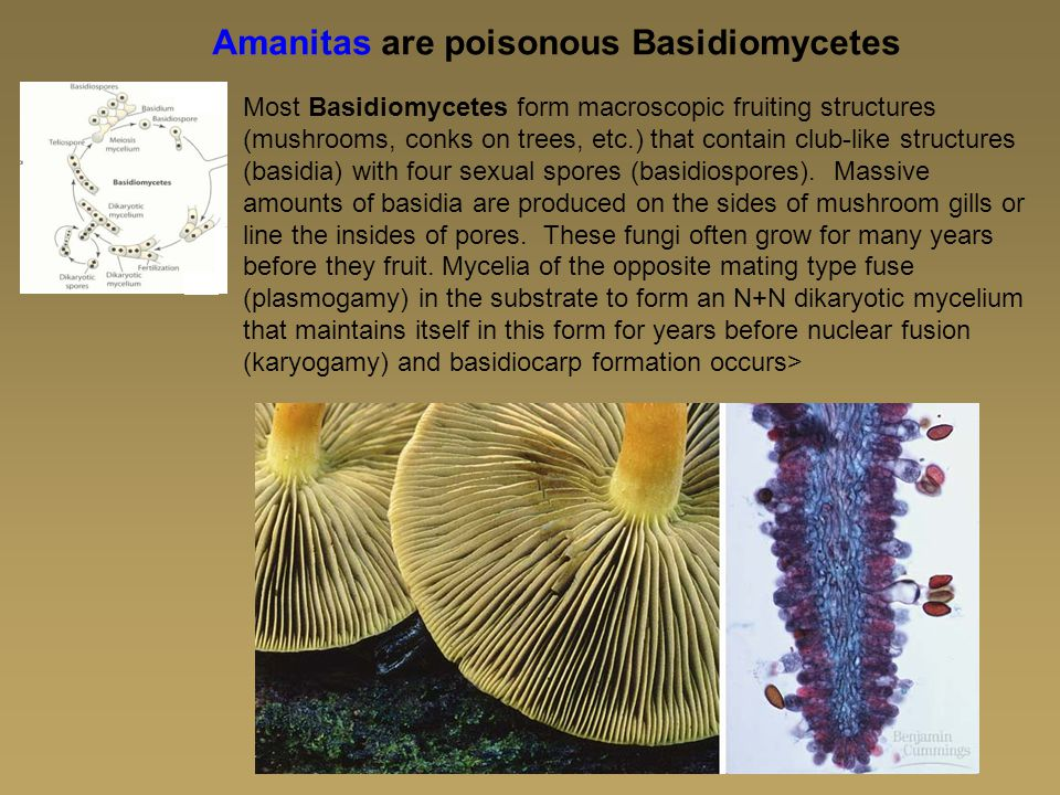 Amanitas are poisonous Basidiomycetes Most Basidiomycetes form macroscopic fruiting structures (mushrooms, conks on trees, etc.) that contain club-like structures (basidia) with four sexual spores (basidiospores).