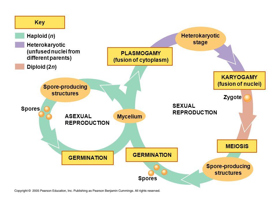 Haploid (n) Key Heterokaryotic (unfused nuclei from different parents) Diploid (2n) PLASMOGAMY (fusion of cytoplasm) Heterokaryotic stage KARYOGAMY (f