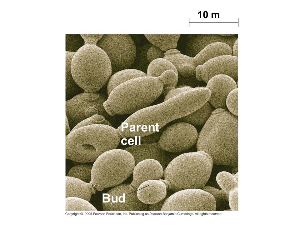 10 m Parent cell Bud