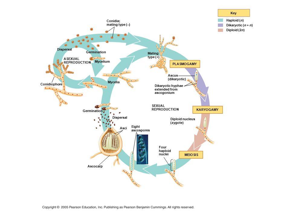 PLASMOGAMY Key Haploid (n) Dikaryotic (n + n) Diploid (2n) SEXUAL REPRODUCTION KARYOGAMY Four haploid nuclei MEIOSIS Dikaryotic hyphae extended from a