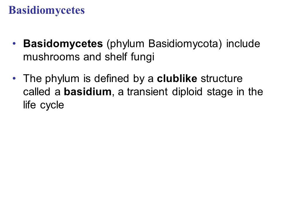 Basidiomycetes Basidomycetes (phylum Basidiomycota) include mushrooms and shelf fungi The phylum is defined by a clublike structure called a basidium,