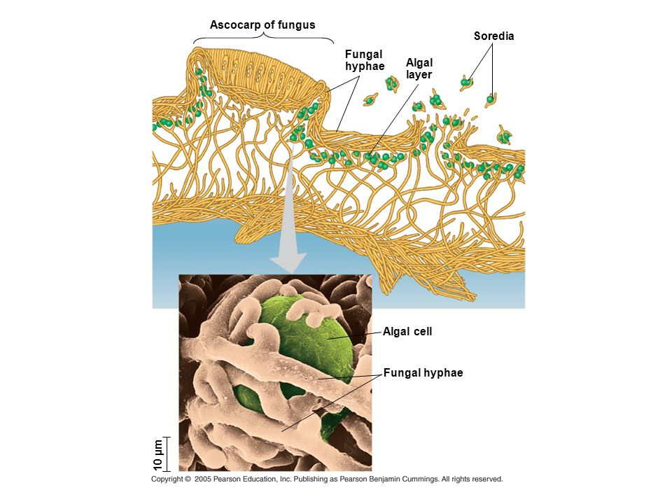 Fungal hyphae Algal cell Soredia Algal layer Fungal hyphae Ascocarp of fungus 10 µm