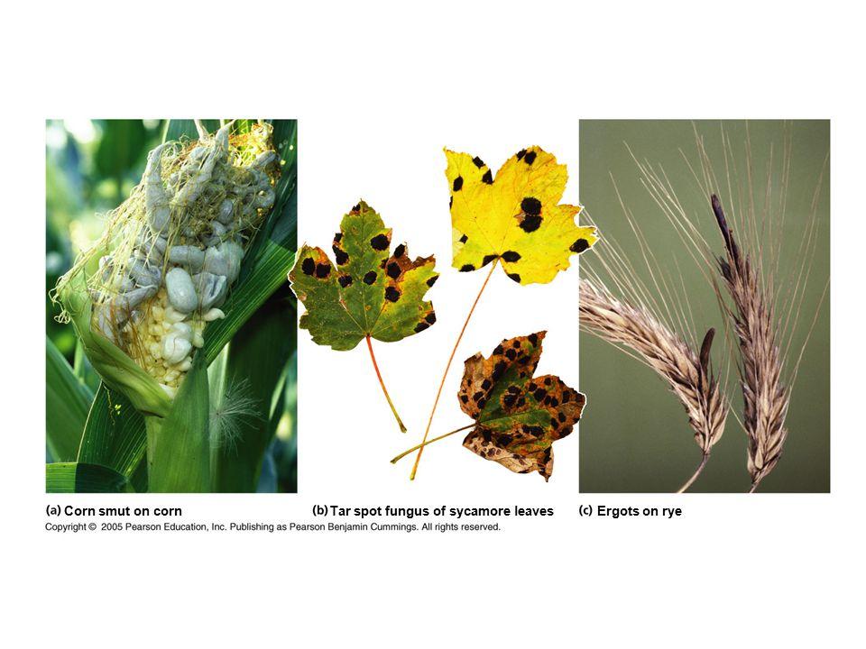 Corn smut on cornTar spot fungus of sycamore leavesErgots on rye