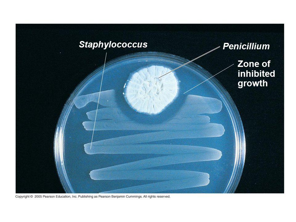 Staphylococcus Penicillium Zone of inhibited growth