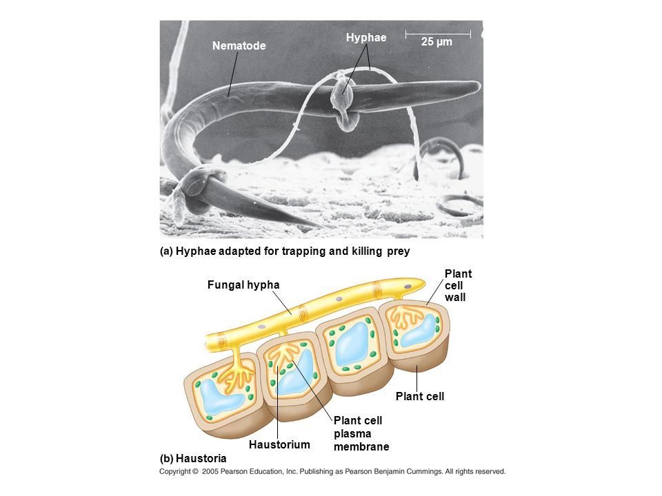 Hyphae adapted for trapping and killing prey Fungal hypha Haustorium Plant cell Haustoria Plant cell plasma membrane Plant cell wall Nematode Hyphae 2