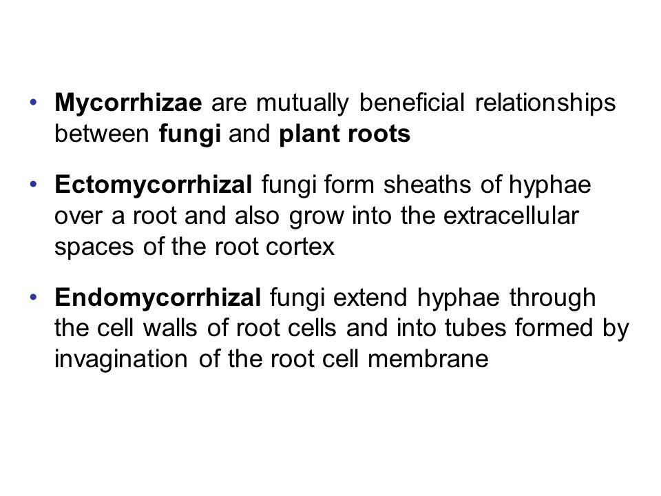 Mycorrhizae are mutually beneficial relationships between fungi and plant roots Ectomycorrhizal fungi form sheaths of hyphae over a root and also grow