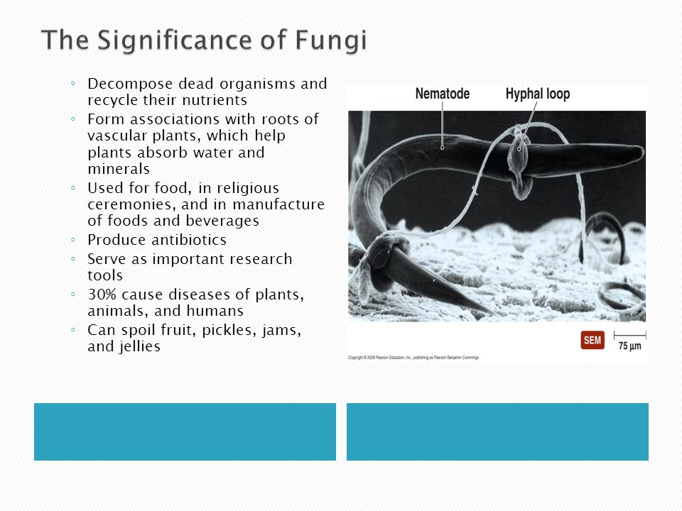 LOWER FUNGI  Aseptate mycelia  used to be called Phycomycetes  Saprophytic or parasitic  Most primitive fungi  Found mostly in soil, water, leaves  Coenocytic = Aseptate  Produce asexual spore in sporangium