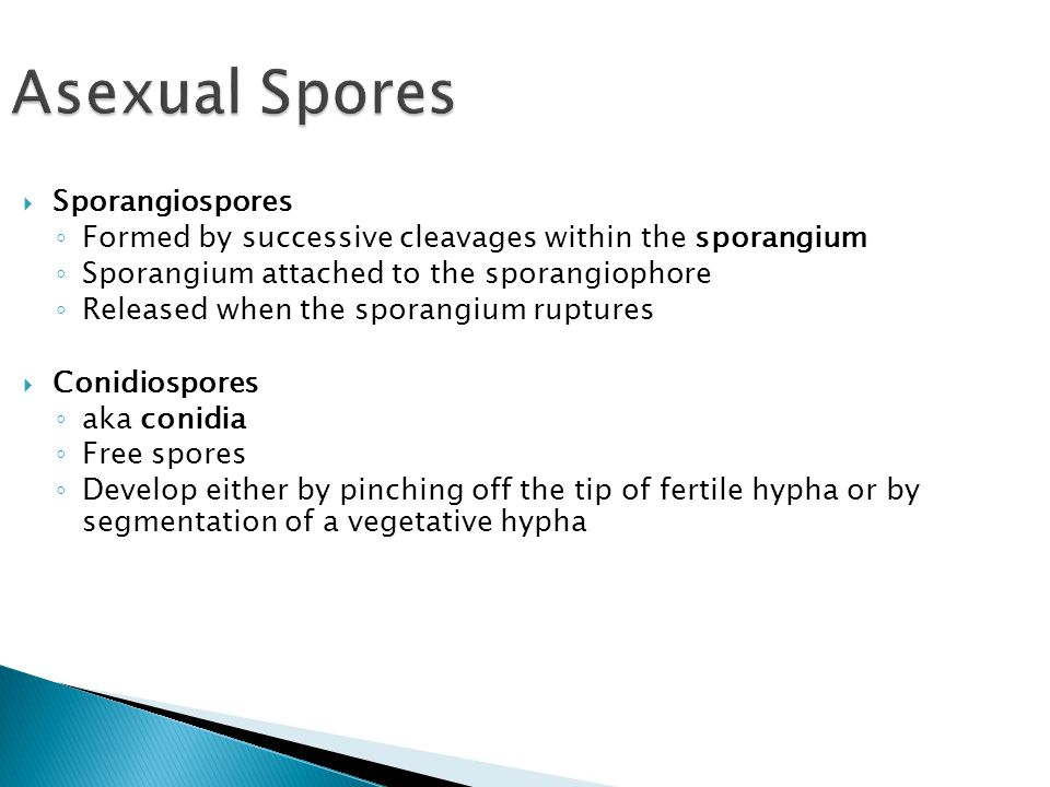 Asexual Spores  Sporangiospores ◦ Formed by successive cleavages within the sporangium ◦ Sporangium attached to the sporangiophore ◦ Released when th