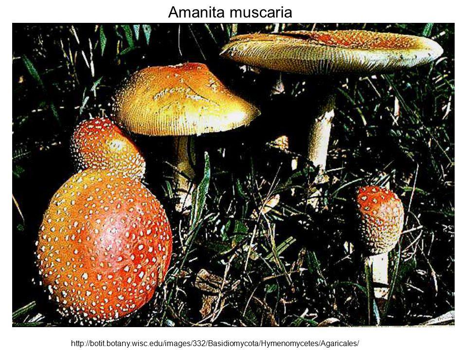 Amanita muscaria http://botit.botany.wisc.edu/images/332/Basidiomycota/Hymenomycetes/Agaricales/