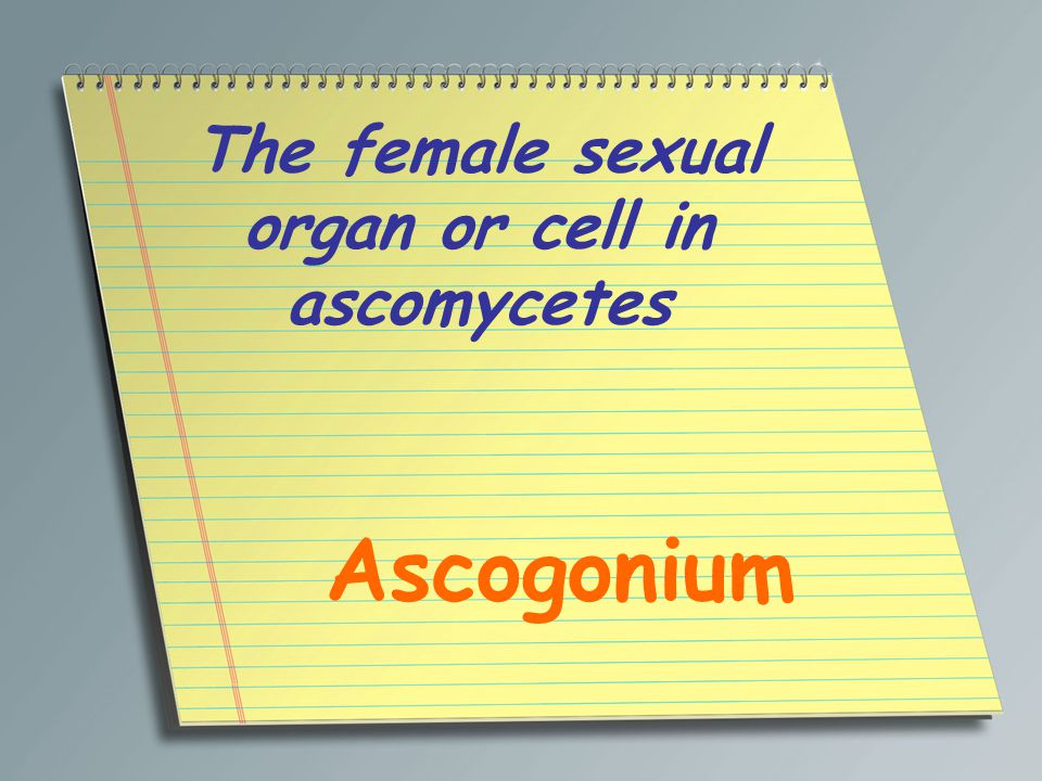 The female sexual organ or cell in ascomycetes Ascogonium