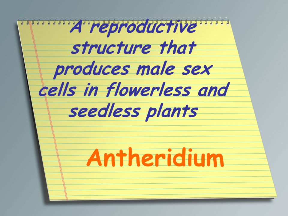 A reproductive structure that produces male sex cells in flowerless and seedless plants Antheridium