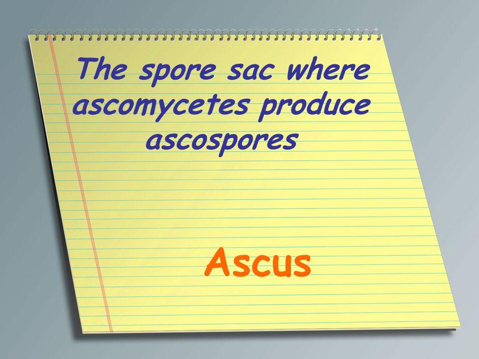 The spore sac where ascomycetes produce ascospores Ascus
