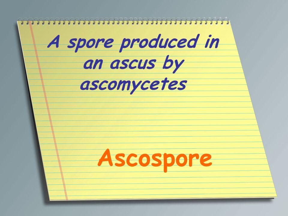 A spore produced in an ascus by ascomycetes Ascospore