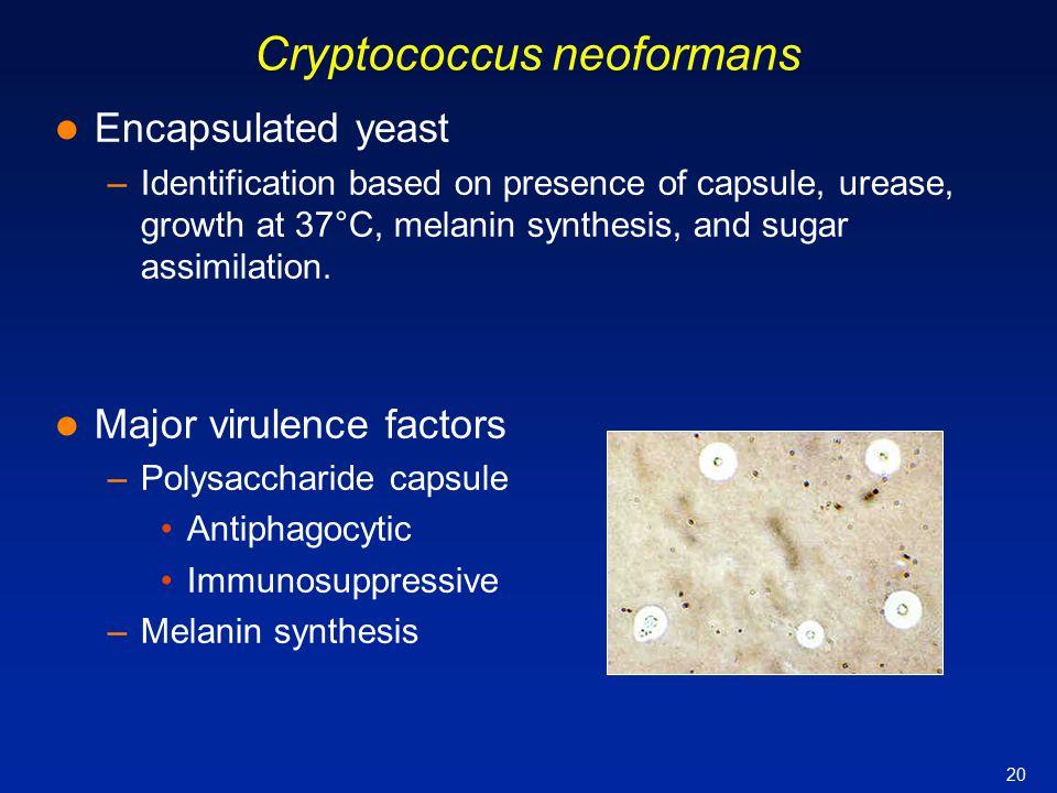 20 Encapsulated yeast –Identification based on presence of capsule, urease, growth at 37°C, melanin synthesis, and sugar assimilation. Major virulence