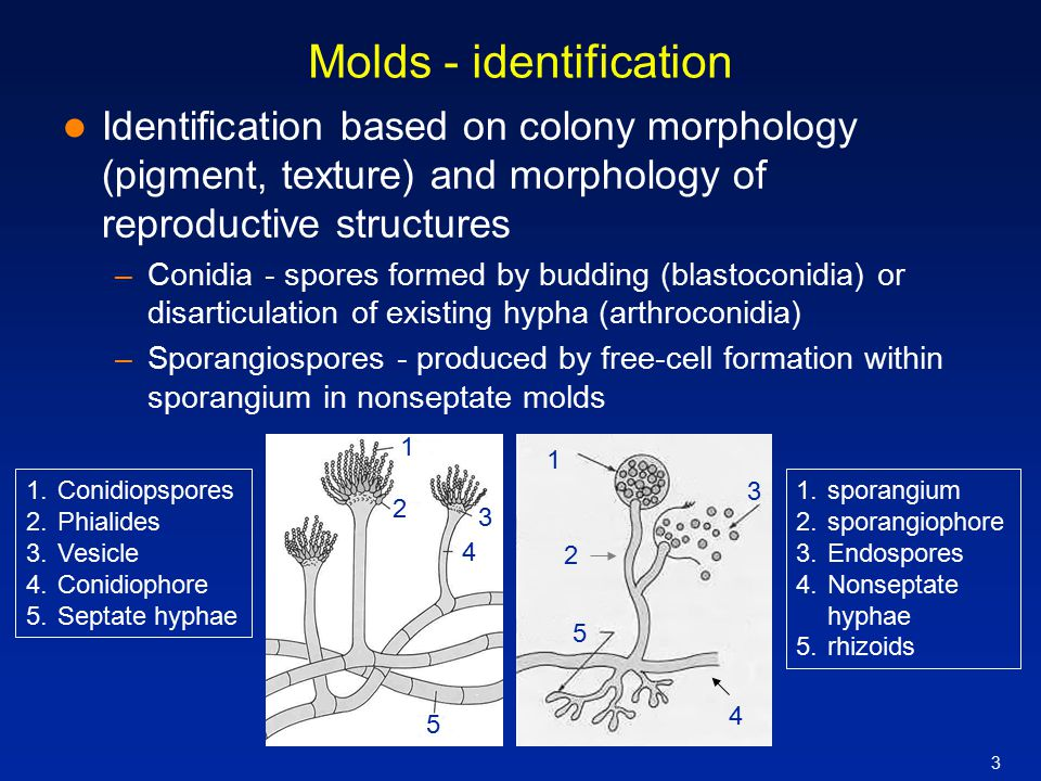 3 Molds - identification Identification based on colony morphology (pigment, texture) and morphology of reproductive structures –Conidia - spores form