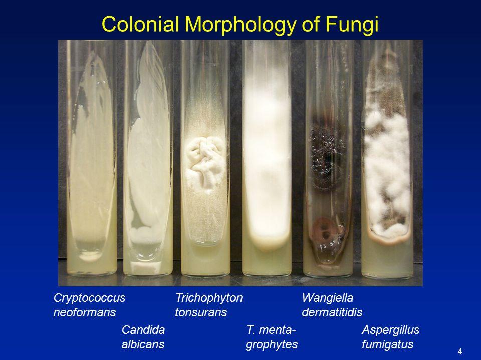 4 Colonial Morphology of Fungi Cryptococcus neoformans Candida albicans Wangiella dermatitidis Aspergillus fumigatus T. menta- grophytes Trichophyton